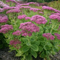 Sedum spectabile `Brilliant´
