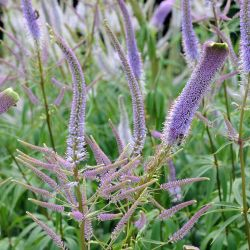 Veronicastrum `Fascination´
