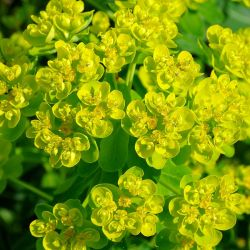 Euphorbia palustris `Teichlaterne´