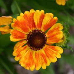 Helenium `Sahin´s Early Flowerer´