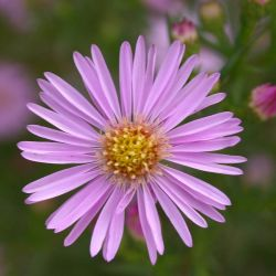 Aster `Pink Star´